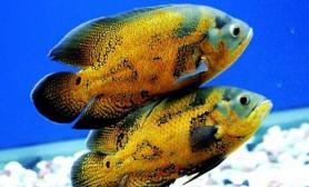 地图鱼的基本信息介绍(图)