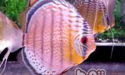 燕鱼幼鱼的饲养护理