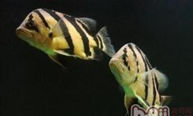 如何通过喂食帮助虎鱼快速生长