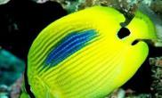 四棘蝴蝶鱼的品种简介