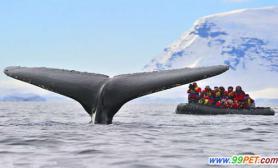 南极游客近距离观赏座头鲸巨型鲸尾令人震撼(多图)