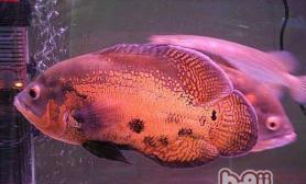 地图鱼的雌雄鉴别与繁殖
