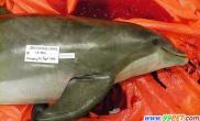 美国海豚连续意外死亡一海豚尸身现子弹(多图)
