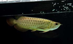 金龙鱼雌雄区别