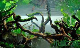 水草造景水草造景---游龙在水