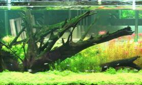 150cm沉木荷兰式无水开缸造景作品欣赏