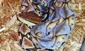 尖吻蝮的历史演化及其毒性(图)