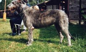 爱尔兰猎狼犬哪里买
