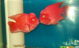 鹦鹉鱼为什么不红血鹦鹉鱼怎么养最红