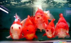 家庭饲养金鱼如何让它们更健康活泼(图)
