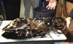 波士顿水族馆收养一只重21磅的巨型龙虾(图)