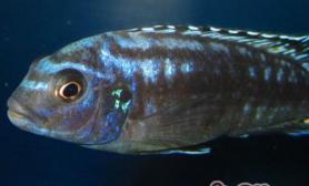 闪电王子鱼的饲养环境