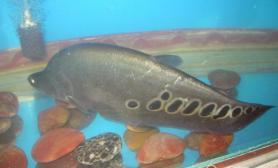 七星刀鱼的外形特点