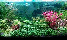 成品缸水草缸陶粒、LED下的水草