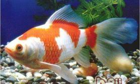 红白草金鱼的外形特点