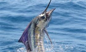 美国旗鱼的外形特点