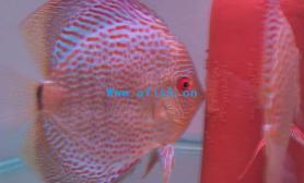 观赏鱼的三种繁殖方式