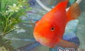 鹦鹉鱼养殖时如何保持其体色