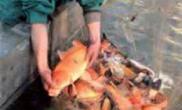 淮北市观赏鱼远销马来西亚(图)