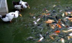 """桂林湖中出现鱼鸭""""联欢""""(图)"""