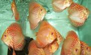 七彩神仙鱼出现腹胀的原因与治疗(图)