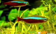宝莲灯鱼品种资料