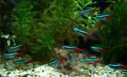 红虫和丰年虾对观赏鱼的优缺点