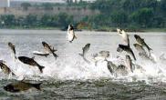 玄武湖出现群鱼跳跃奇观(图)