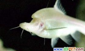 独角盲鱼游台北(图)