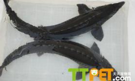 清道夫鱼的寿命大概多长能活多久