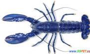 英发现罕见蓝色龙虾(多图)