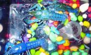 养蓝色宠物虾你有兴趣吗问答(图)
