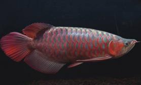 紫艳红龙鱼