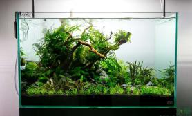 事实证明水草缸沉木上不是只能绑莫丝