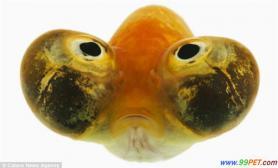 泡眼金鱼必须独自生活以免撞破眼球(多图)
