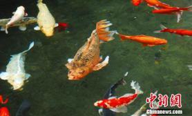 """锦鲤鱼长出罕见金鱼尾鳍变身""""明星鱼""""(图)"""