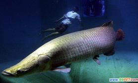 世界上最大的淡水鱼之一南美巨型鱼pirarucu(图)
