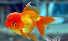 自己养小金鱼的日常护理方法
