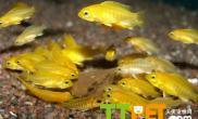 正确区分非洲王子鱼雌雄的方法