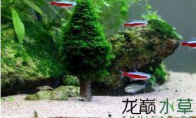 求指导水草缸做这样形状的莫斯树用什么莫斯最好