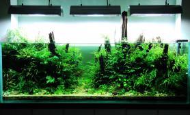 不必迷信泥,用砂子照样可以养好水草——1.8米缸建缸10月成景
