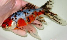 五花长尾草金鱼的品种简介