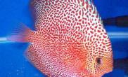 七彩神仙鱼的头洞病防治方法(图)