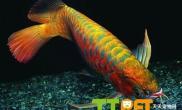 红龙鱼品种资料介绍