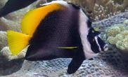 四带马夫鱼的饲养环境