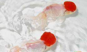 鹤顶红金鱼的的繁殖和培育(图)