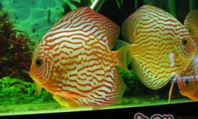 如何加强七彩神仙鱼水质保养