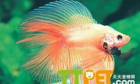 泰国斗鱼繁殖的综述