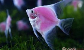 天使鱼的繁殖须知