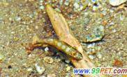 最小鱼种虾虎鱼几乎透明(图)